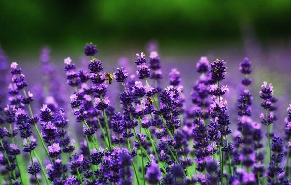 Photo wallpaper bokeh, bees, lavender