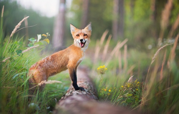 Picture forest, summer, grass, trees, Fox, red, bokeh
