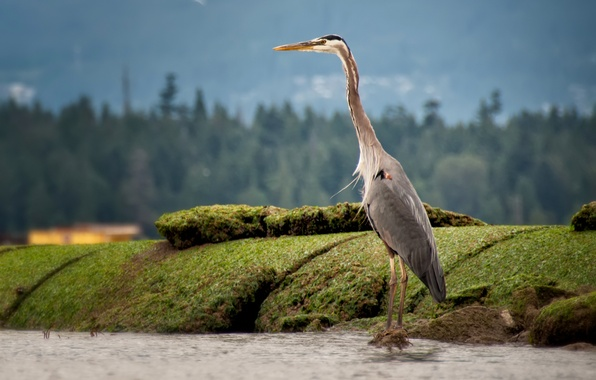 Picture nature, stones, bird, moss, beak, Heron