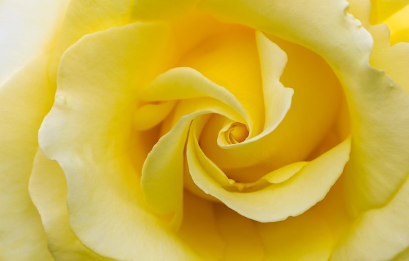Picture macro, rose, petals, yellow