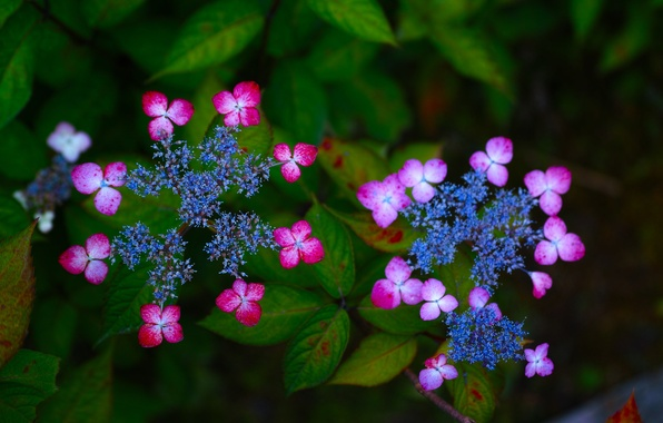 Picture macro, flowers, inflorescence, hydrangea
