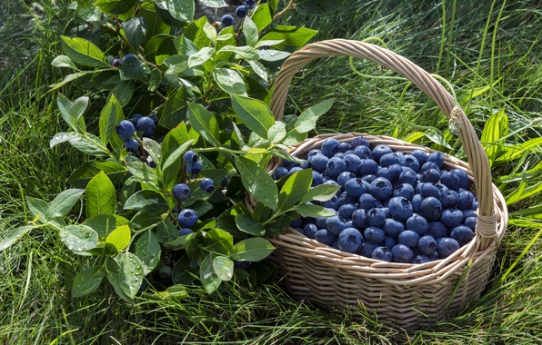 Picture berries, basket, blueberries, fresh, blueberry, berries
