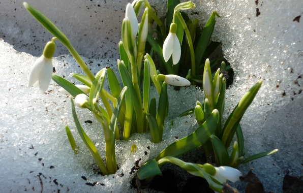 Picture white, snow, spring, snowdrop