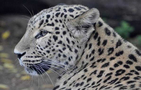 Picture face, predator, leopard, profile, Persian