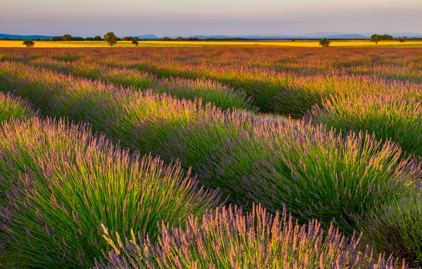 Picture field, landscape, flowers, nature, purple, field, landscape, nature, the ranks, flowers, lavender, purple, lavender, rows