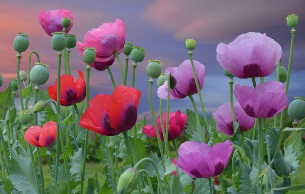 Picture flowers, Maki, red, red, pink, flowering, pink, flowers, poppies, blooming