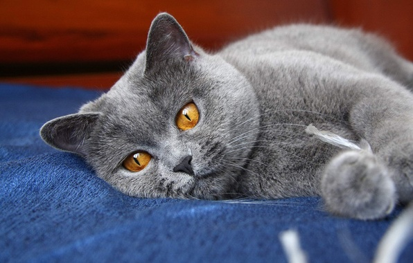 Picture cat, eyes, cat, grey, paws, kitty, ears