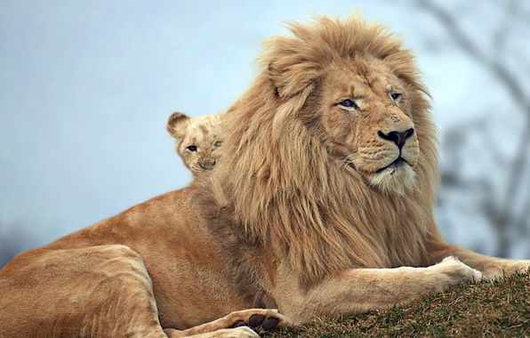 Picture nature, animals, lions