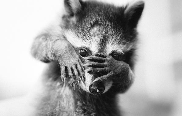 Picture animal, legs, muzzle, raccoon, cub, monochrome