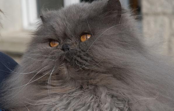 Picture cat, fluffy, muzzle, Persian cat