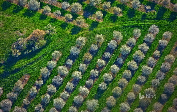 Picture grass, trees, spring, Michigan, panorama, USA, the cherry orchard, Mason County