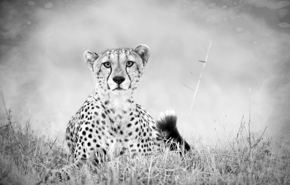 Picture sadness, Grass, Black and white, tail, Predator, Savannah, Cheetah