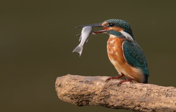 Picture bird, food, fish, branch, bitches, Kingfisher, catch