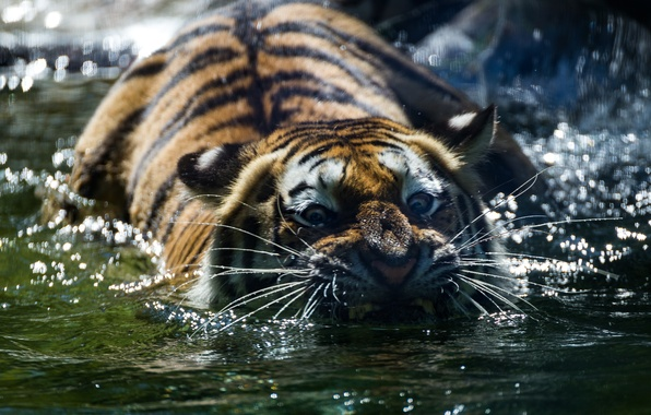Picture look, face, water, tiger, predator