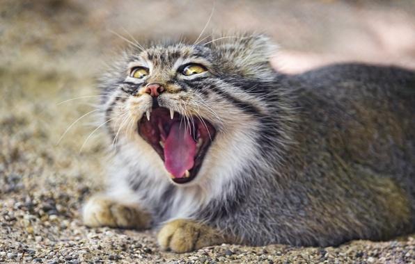 Picture cat, mouth, yawns, manul, ©Tambako The Jaguar