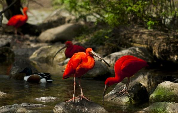 Picture water, trees, birds, nature, stream, stones, moss, IBIS