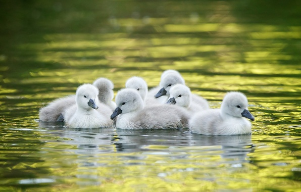 Picture water, kids, swans, Chicks, the Lebeda