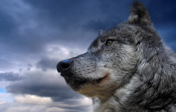 Picture the sky, animal, wolf