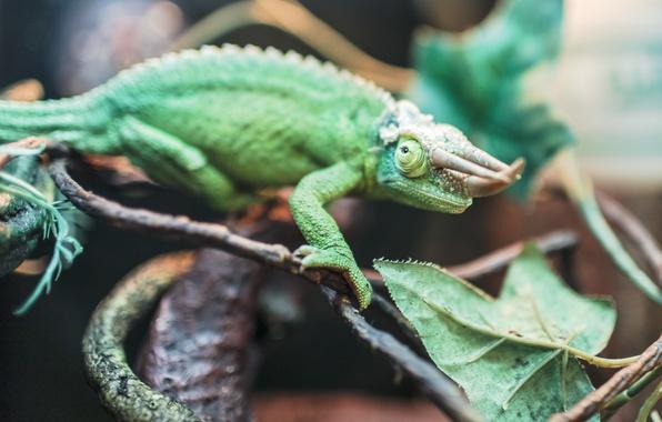 Picture green, chameleon, horns, Horny, reptile, chameleon Jackson