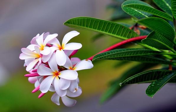 Picture macro, plumeria, inflorescence