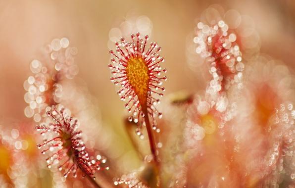 Picture glare, plant, bokeh, rotundifolia, Drosera rotundifolia, sundew