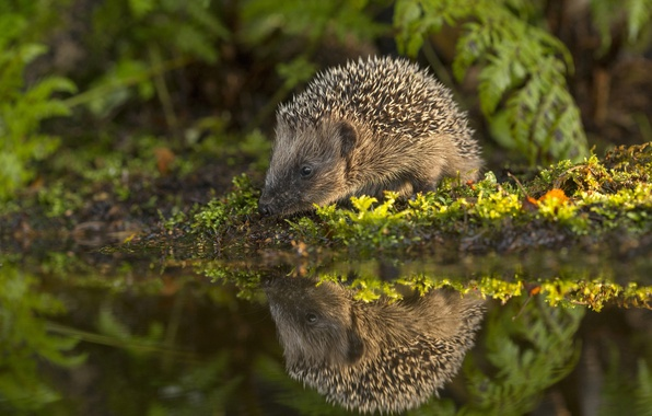 Picture water, reflection, moss, hedgehog, hedgehog