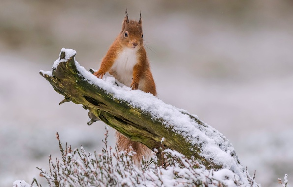 Photo wallpaper winter, snow, protein, red, snag