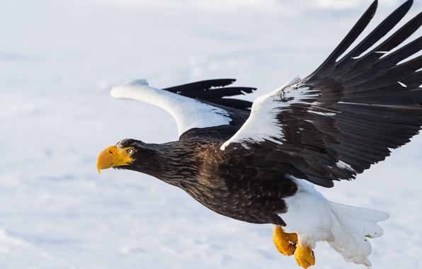 Picture bird, wings, predator, flight, Steller's sea eagle