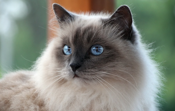 Picture cat, white, cat, mustache, look, breed, Sacred Birman, Burmese, blue-eyed