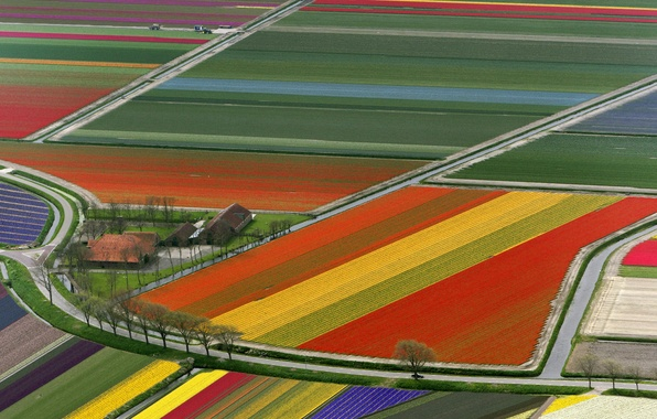 Picture Field, Tulips, Netherlands