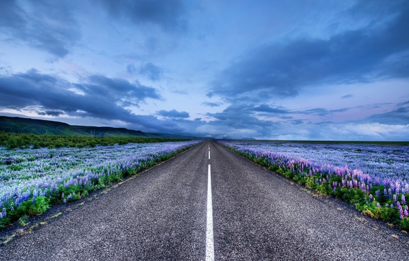 Picture road, flowers, horizon, Iceland, meadows, Iceland, Lupin