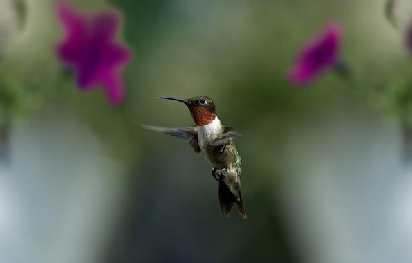 Picture greens, macro, flight, flowers, bird, blur, Hummingbird