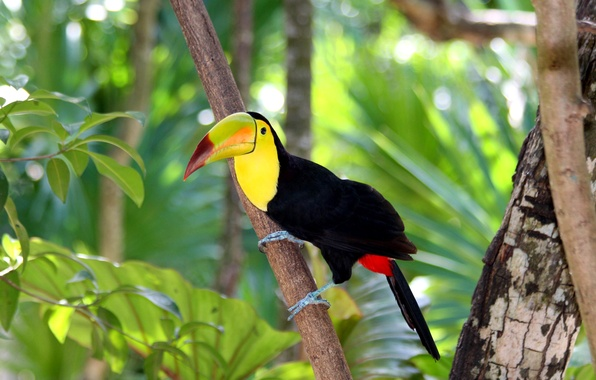 Picture forest, nature, tree, bird, branch, beak, Toucan