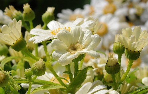 Picture macro, petals, buds