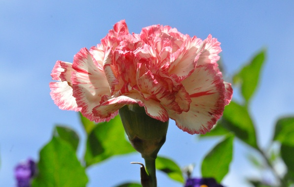 Picture the sky, macro, nature, petals, carnation