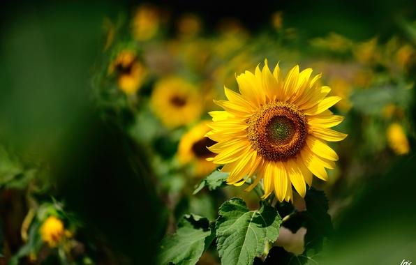 Picture summer, yellow, sunflower, focus, blur, Sunny