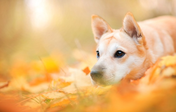 Picture autumn, face, leaves, nature, animal, dog, dog