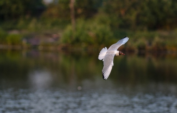 Picture water, flight, bird, wings, the evening