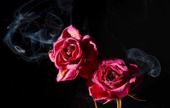 Picture macro, the dark background, pink, smoke, two, roses