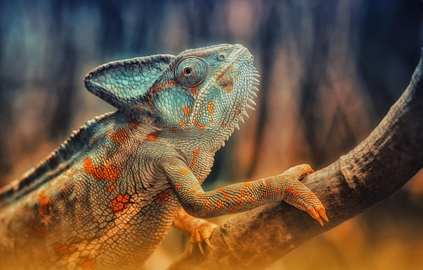 Picture chameleon, branch, lizard, color, reptile, reptile, Chameleon