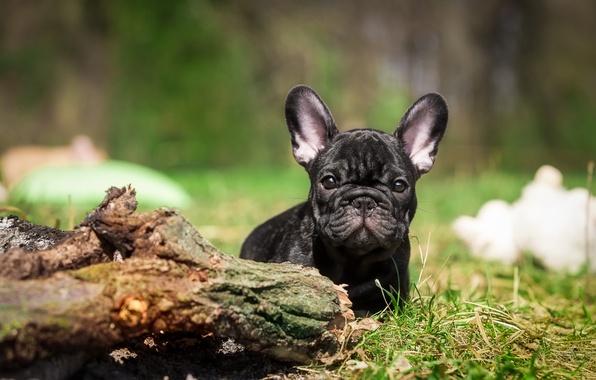 Picture dog, puppy, bulldog, French bulldog