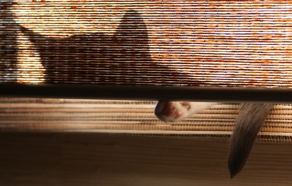 Picture cat, shadow, tail, ears