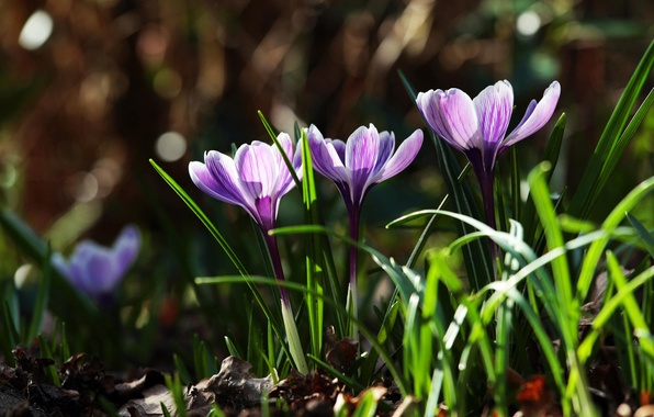 Picture grass, leaves, flowers, nature, spring, purple, primroses, Crocuses