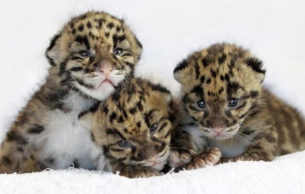 Picture cat, leopard, leopard, cubs