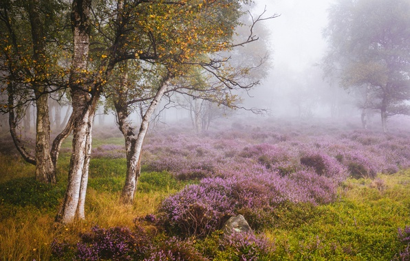 Picture autumn, trees, glade, England, birch, England, Heather, Derbyshire, Derbyshire, Peak District, Stanton Moor, The Peak …