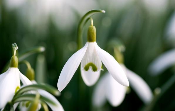 Picture petals, snowdrops, white