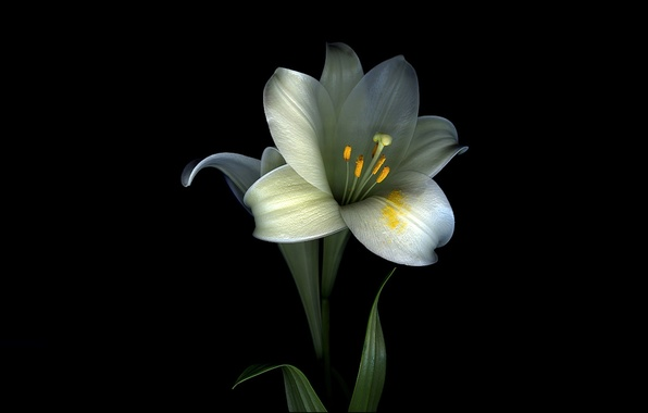 Picture flower, leaves, light, Lily, shadow, petals