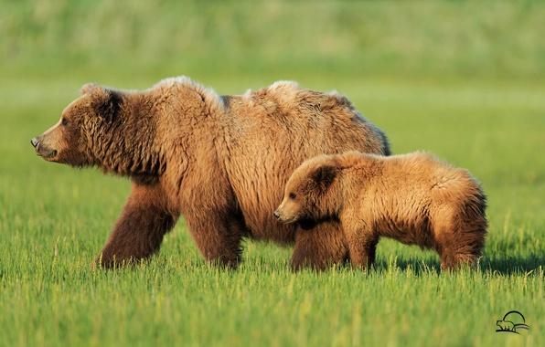 Picture grass, bears, bears, bear