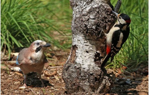 Picture grass, birds, nature, tree, woodpecker