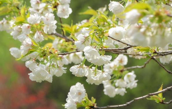 Picture macro, branches, cherry, spring, Sakura, flowering, flowers